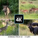 savannah animals filmed  in South Africa in kruger park, wild animals 5 PACK CLIP - VideoHive Item for Sale