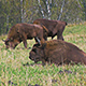 Bisons In The Field - VideoHive Item for Sale