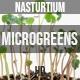 Microgreens Nasturtium 1  - VideoHive Item for Sale