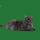 Home Cat On Green Background - VideoHive Item for Sale