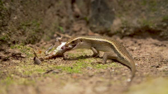 Lizard Eating Frog