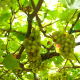 Grapes. Vineyard - VideoHive Item for Sale