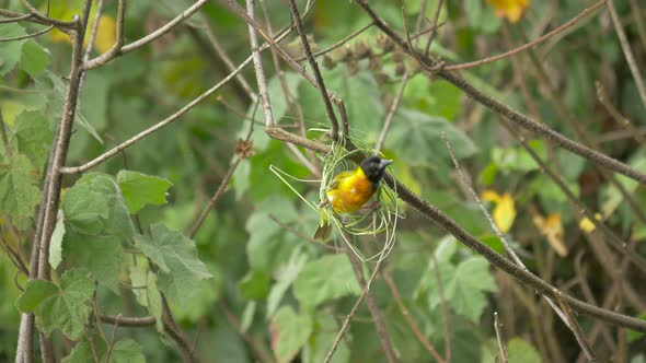 Yellow Bird Building A Nest By Atwstock Videohive