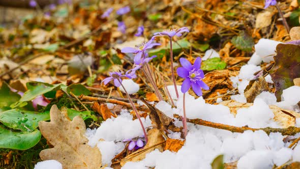 Spring Flowers And Melting Snow By Aleksask Videohive