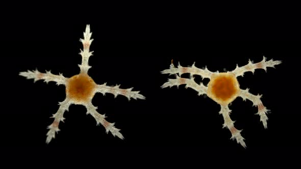 Our new Microscope Exhibit reveals the ocean's tiniest wonders  |Microscopic Image Sea Star
