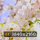 Spring Blossom (4K) - VideoHive Item for Sale