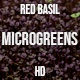 Microgreens Red Basil 1 - VideoHive Item for Sale