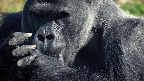 Silverback Gorilla Strength Bing Images